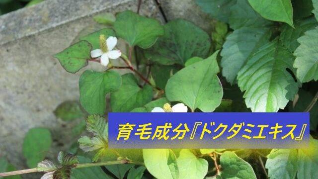 ドクダミの葉から取れるドクダミエキス