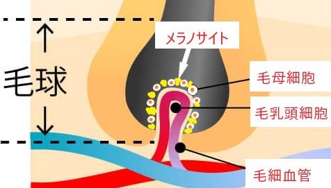 毛母細胞とメラノサイト