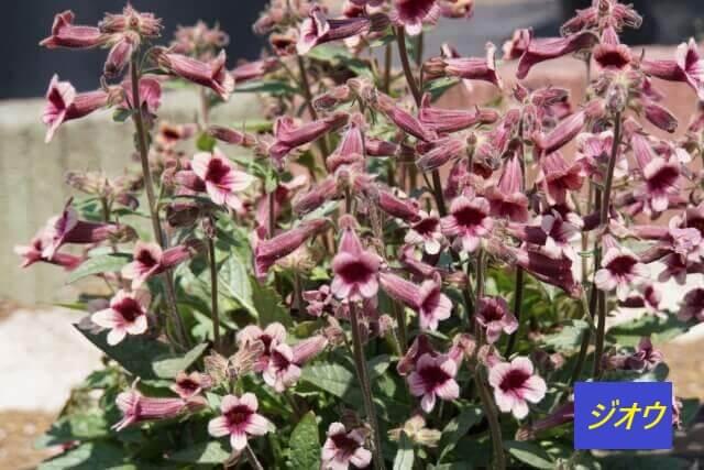 植物のゴマノハグサ科アカヤジオウ