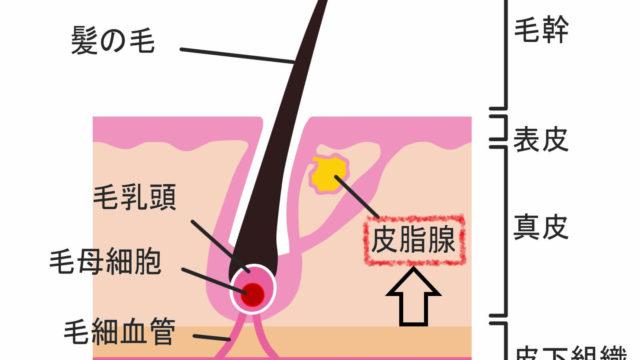 人間の頭髪の皮脂腺の場所