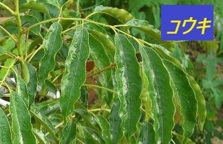 黄杞(コウキ)の木