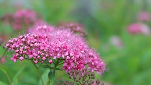 シモツケソウの花